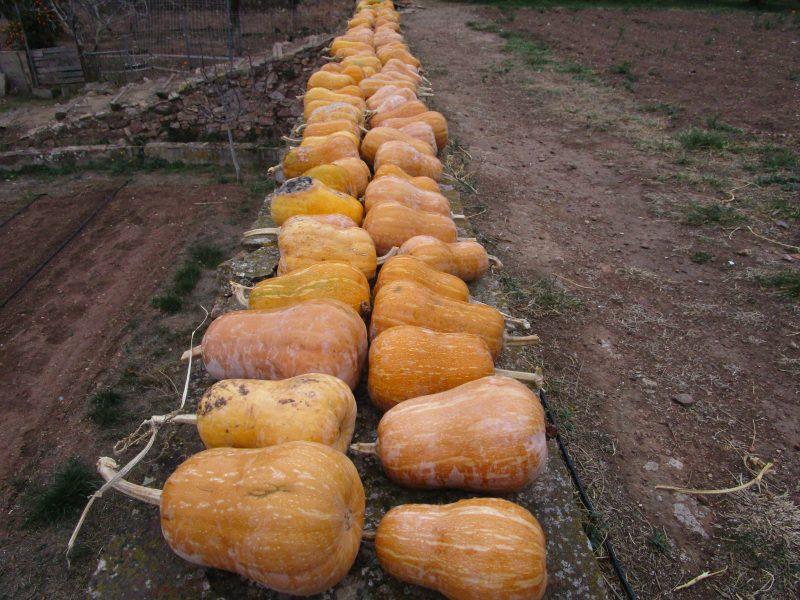 Pumpkin Quince - 02 foto